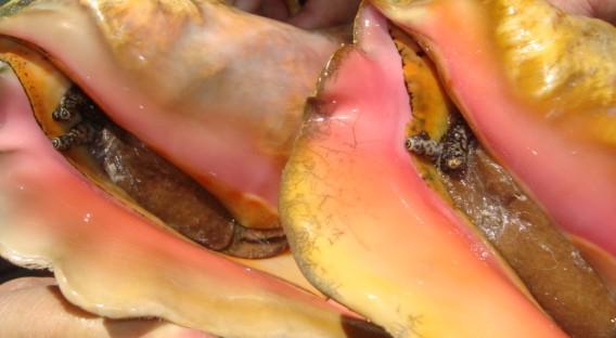 Bahamian Conch